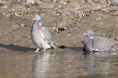 Wood Pigeons Pair Stock Photo
