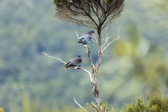 Wood Pigeons Perch Royalty Free Stock Photography