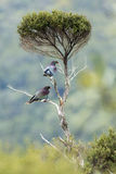 Wood Pigeons Perch Stock Photography