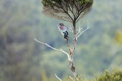 Wood Pigeons Perch Royalty Free Stock Images
