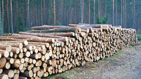 Wood piles. A lot of pile of wood in forest Stock Image