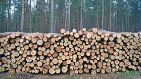 Wood piles. A lot of pile of wood in forest Stock Images