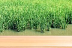 Wood plank on blurred rice plantation background green, empty wood table floors on field rice plant paddy farm, wood table board royalty free stock photos