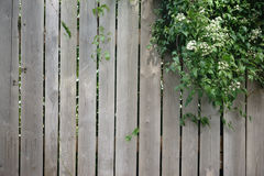 Wood plank fence. A ivy plant growing over a wood plank fence Stock Image