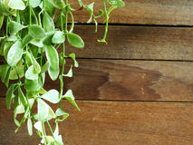 Wood planks background with ivy and copy space Stock Images