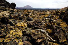 Wood plant  bush timanfaya  in los volcanes Royalty Free Stock Images