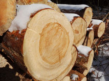 Wood preparation. Close up of cut tree trunk, wood preparation in winter Royalty Free Stock Photo