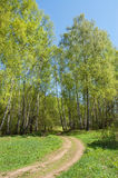 Wood road. The first greens in spring birch wood filled in with the sun. Through wood the dirt road conducts royalty free stock images