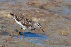 Wood Sandpiper ¢(Tringa glareola) Royalty Free Stock Images