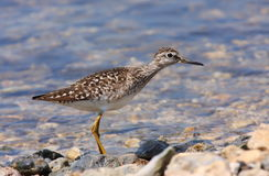Wood Sandpiper Stock Photos