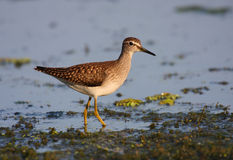 Wood sandpiper Stock Image
