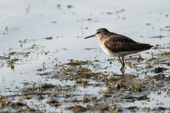 Wood Sandpiper Royalty Free Stock Images