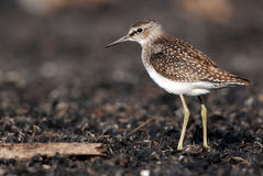 Wood Sandpiper Stock Photography