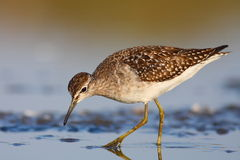Wood sandpiper Royalty Free Stock Photo