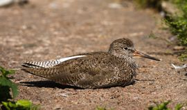 Wood Sandpiper  Stock Photo