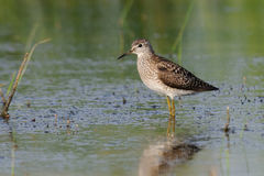 Free Wood Sandpiper At The Shallow Water Royalty Free Stock Photography - 67551487