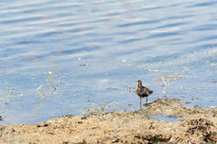 Wood sandpiper. On the beach. Tringa glareola Royalty Free Stock Image