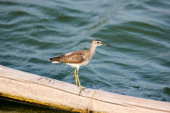 Wood Sandpiper. Beautiful Wood Sandpiper Tringa glareola Stock Images