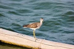 Wood Sandpiper. Beautiful Wood Sandpiper Tringa glareola Stock Photo