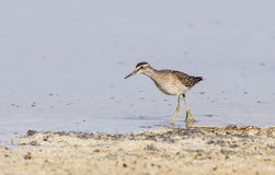 Wood Sandpiper Close Up Royalty Free Stock Image