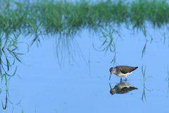 Wood sandpiper in fallow field Royalty Free Stock Images