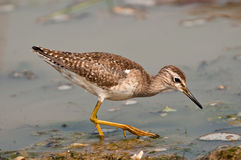 Wood Sandpiper feeding stock photography