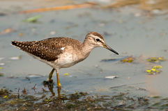Wood Sandpiper feeding Royalty Free Stock Image