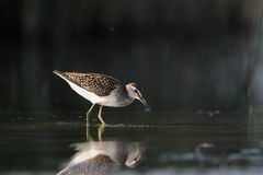 Wood Sandpiper feeding near reeds at the shallow water Stock Photos