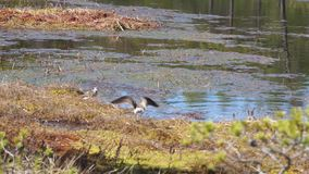 Wood sandpiper love song and wedding dance. Birds mate in the bog stock footage