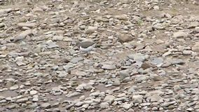 Wood sandpiper stock video footage