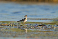 Wood Sandpiper at PA Poda Royalty Free Stock Image