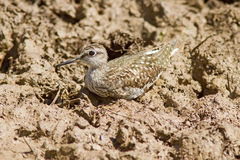 Wood Sandpiper Perched On The Ground Royalty Free Stock Photos
