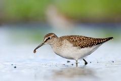 Wood Sandpiper with prey Royalty Free Stock Photos