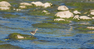 Wood Sandpiper at the river shore Stock Images