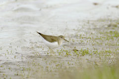 Wood sandpiper searching for food in marshy wetlands Stock Photo