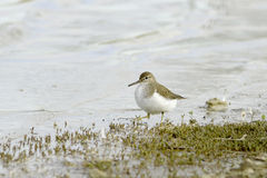 Wood sandpiper searching for food in marshy wetlands Stock Photography
