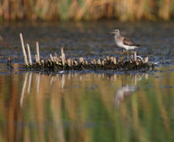 Wood Sandpiper Tringa glareola Stock Photos