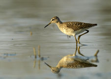 Wood Sandpiper (Tringa glareola). Wood Sandpiper in the water Royalty Free Stock Photo