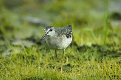 Wood Sandpiper (tringa glareola) Stock Photos