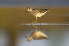 Wood Sandpiper (Tringa glareola) Royalty Free Stock Photography