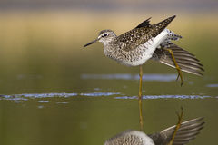 Wood Sandpiper (Tringa glareola) Royalty Free Stock Photos