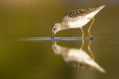 Wood Sandpiper (Tringa glareola) Stock Images