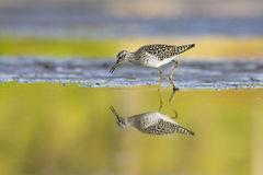 Wood Sandpiper (Tringa glareola) Royalty Free Stock Image