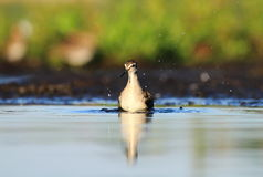 Wood Sandpiper Tringa glareola bath Royalty Free Stock Photography
