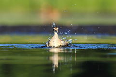 Wood Sandpiper Tringa glareola bath Stock Photography