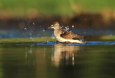 Wood Sandpiper Tringa glareola bath Stock Photos