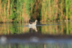 Wood Sandpiper Tringa glareola bath Stock Images