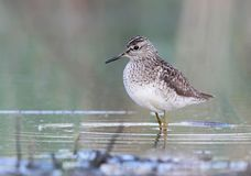 The wood sandpiper Tringa glareola close up photo Stock Photography