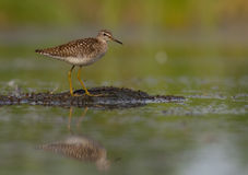 Wood Sandpiper - Tringa glareola Stock Photo