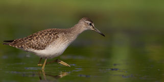 Wood Sandpiper - Tringa glareola Royalty Free Stock Photo